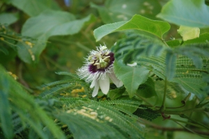 Maracuja Flower 1