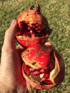 Pomegranates fresh from the backyard.  Photos by Priscillakittycat